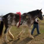 HorseParade7